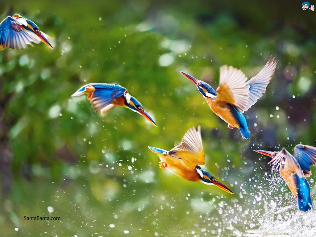 Birds Water Bird Wallpaper Kingfisher Bird Bird Pictures