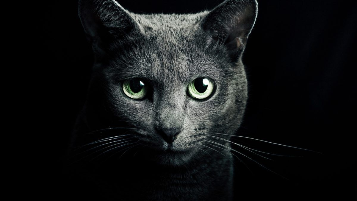Cat Protects You And Your Home From Ghosts And Negative Spirits Russian Blue Cat Russian Blue Cat Wallpaper