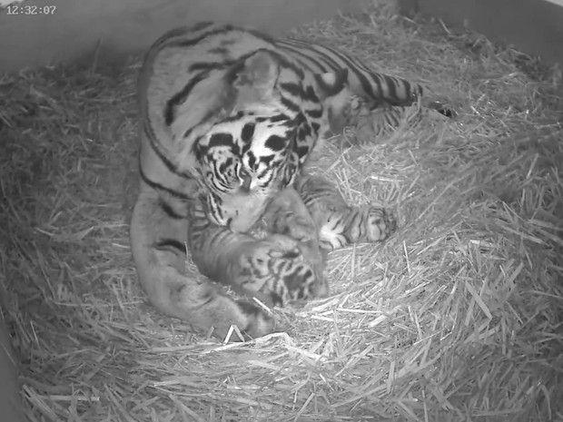 Tigre-de-Sumatra dá à luz trigêmeos em zoo de Londres  (Foto: BBC)