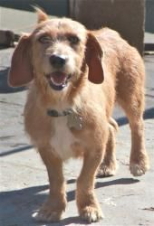 Mistletoe Is An Adoptable Wirehaired Terrier Dog In Rowayton Ct