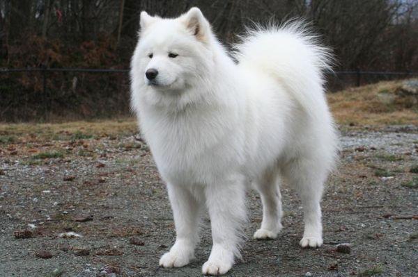 White Fluffy Dog Breeds Entertaining Pet White Fluffy Dog