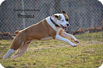 American Bulldog/Boxer Mix Dog for adoption in Harrisville