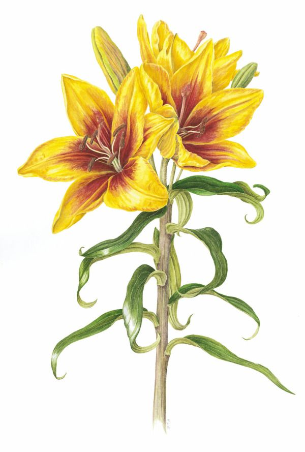 Sue Woodfine Flower Art Botanical Illustration Home Art