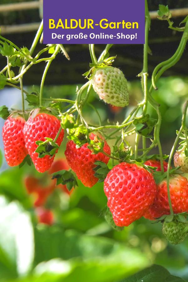 Pin Auf Erdbeerpflanzen Erdbeer Ernte Aus Dem Garten