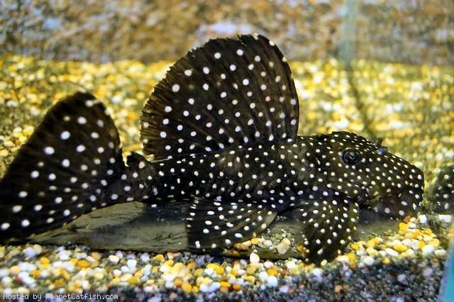 Synodontis Angelicus W Africa Aquarium Fish Aquarium Catfish Tropical Fish
