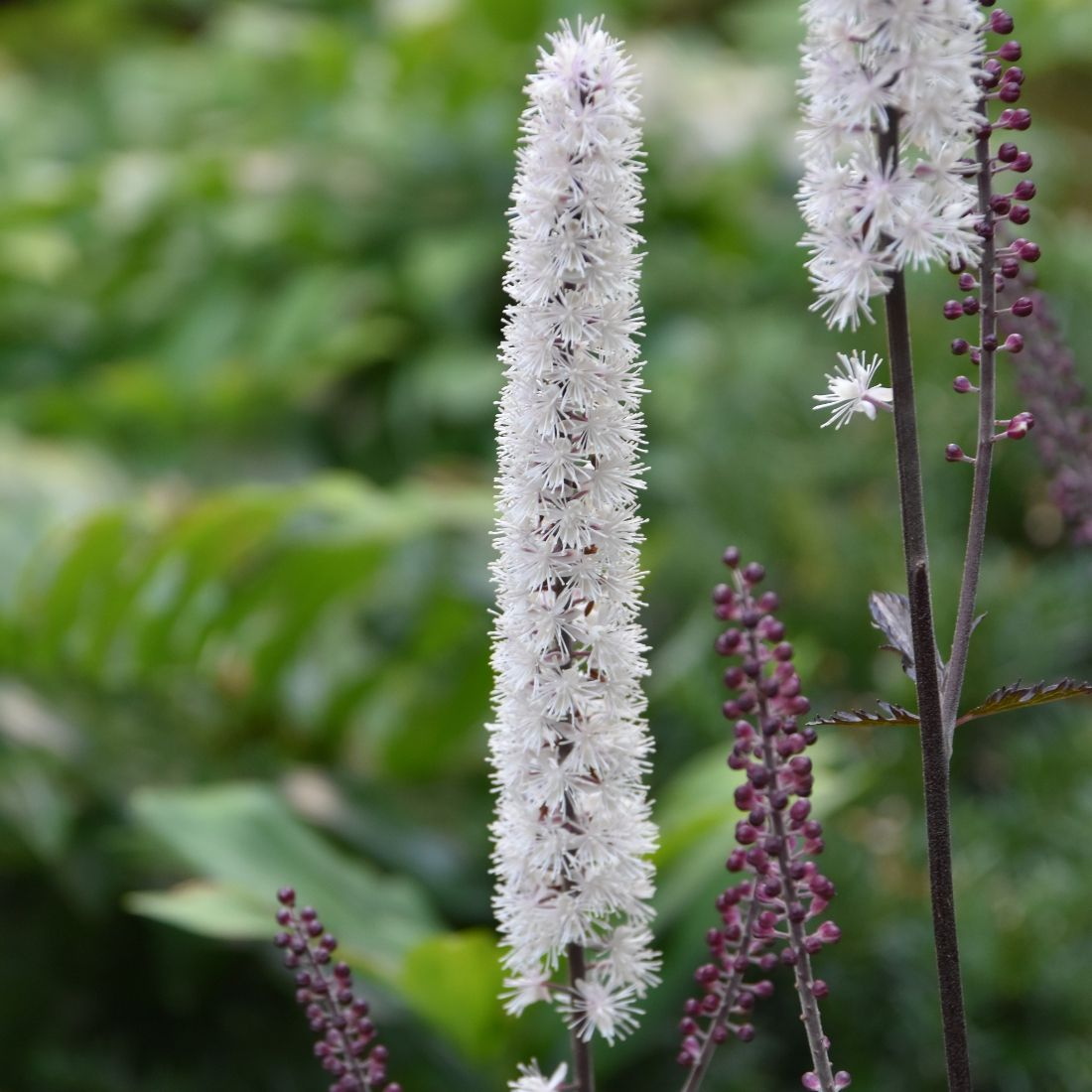 Actaea Pink Spike At Plant Paradise Country Gardens Perennials