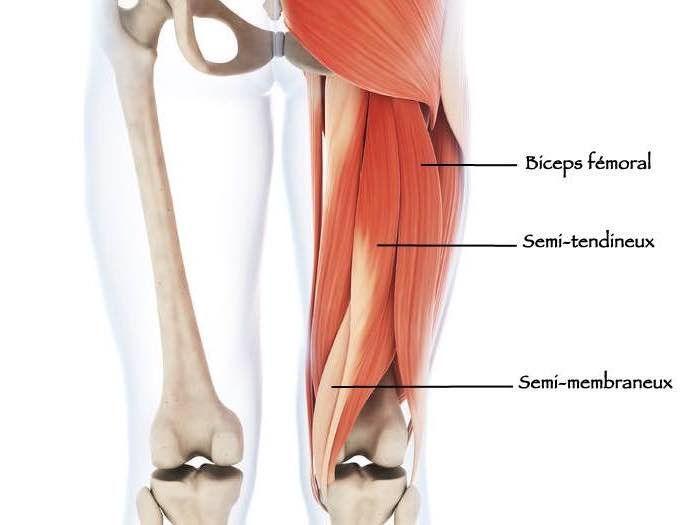 Muscles ischio-jambiers de la région de la cuisse. Actions ...