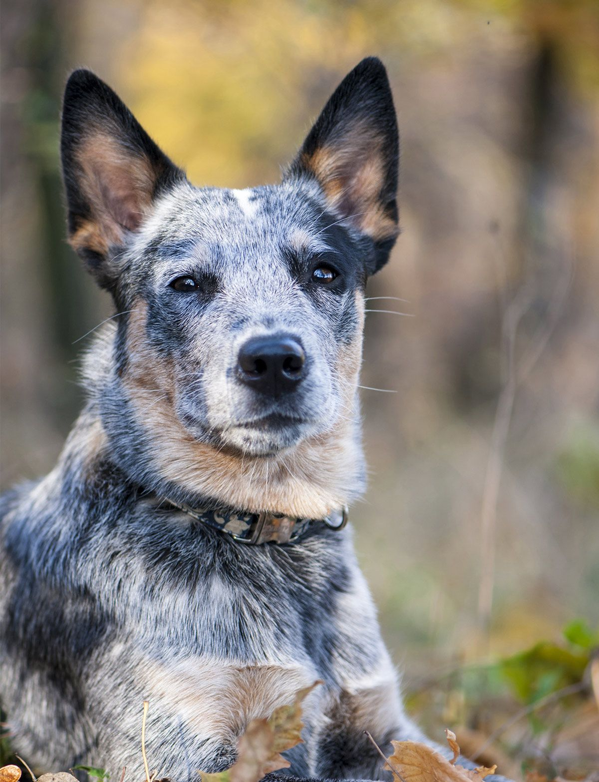 Blue Heeler Names 200 Brilliant Ideas For Australian Cattle Dog