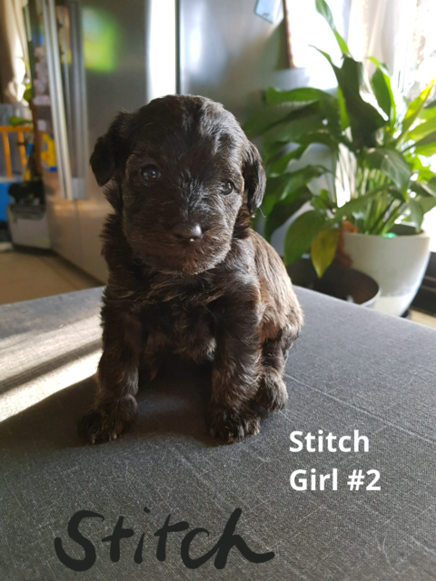 First Generation Schnoodle Puppies Dogs Puppies Gumtree