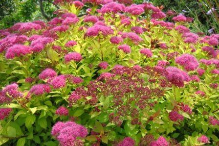 SPIRAEA japonica  MAGIC CARPET ® 'Walbuma'  (BP8)   ↕ 50 cm ↔ 80 cm. Port tapissant, jeunes pousses cuivrées, feuilles vert-jaune, corymbes rose vif en juin-juillet. Zone USDA 4a(-34°C)
