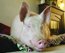 Some Kind of Wonder-Pig: Esther Is a Pampered Pet with a Purpose : The Humane Society of the United States