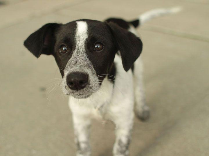 Image Result For Beagle Pointer Mix Beagle Mix Rare Dog Breeds