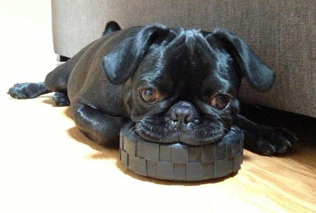 Black Pug Puppies Wallpaper
