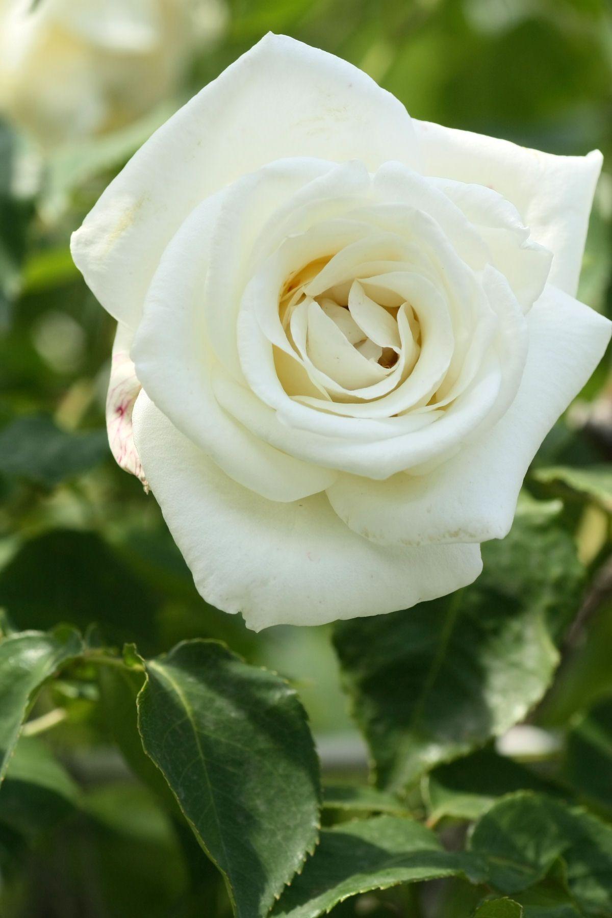 Rosa \'Virgo\' (France, 1947)   ~Roses~   Pinterest   Flowers, Rose ...