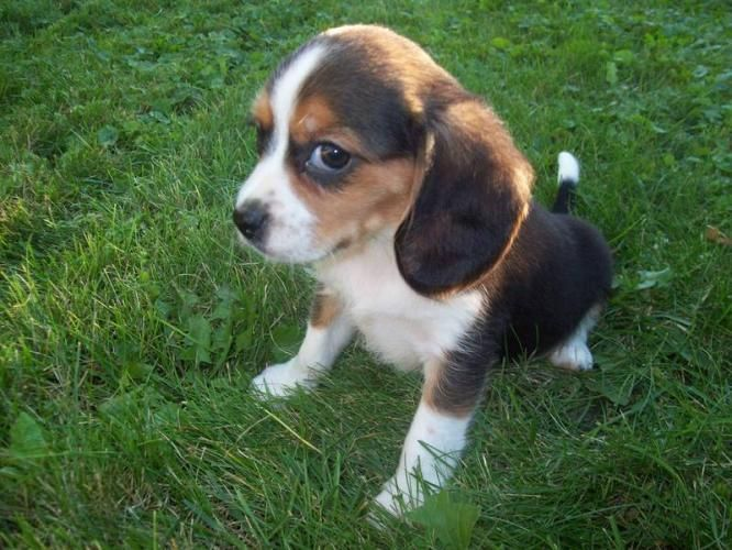 Beaglier Beagle Cavalier King Charles With Images Kittens