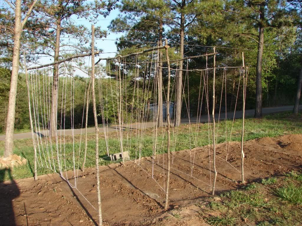 Bean Trellis Gardening Pinterest