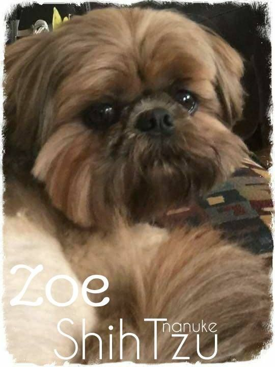 Pin By Lisa Duncan On Lasa Also Type Pooches Shih Tzu Funny