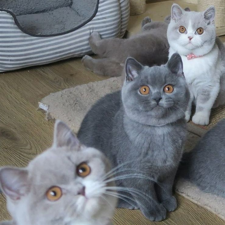 Silly Picture Of British Shorthair Kitty Love Pet Kitten British Shorthair British Blue Cat Very Cute Dogs