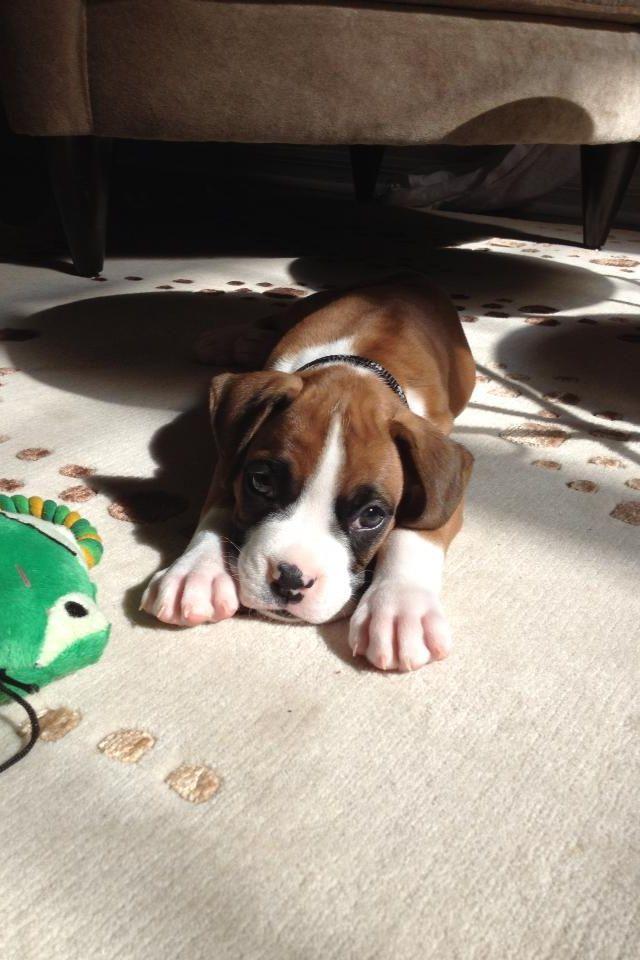 Benny Boxer Boxer Animals Dogs