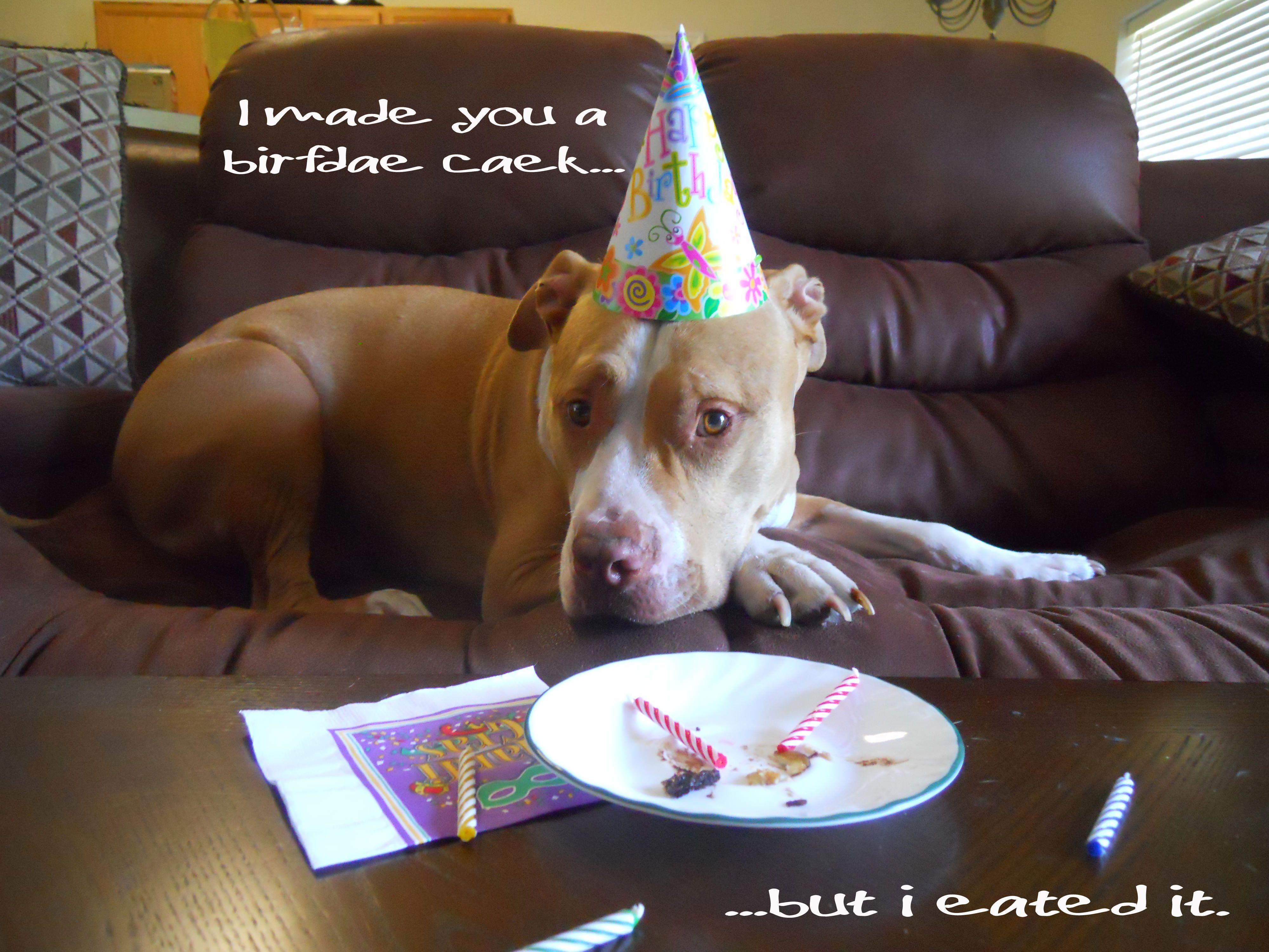 I Ate The Cake Happy Birthday Dog Pitbulls Funny Puppy Memes