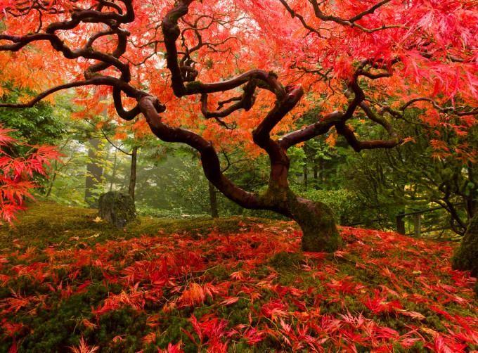 Japanischer Ahorn Farbenfrohe Gartengestaltung Japanische