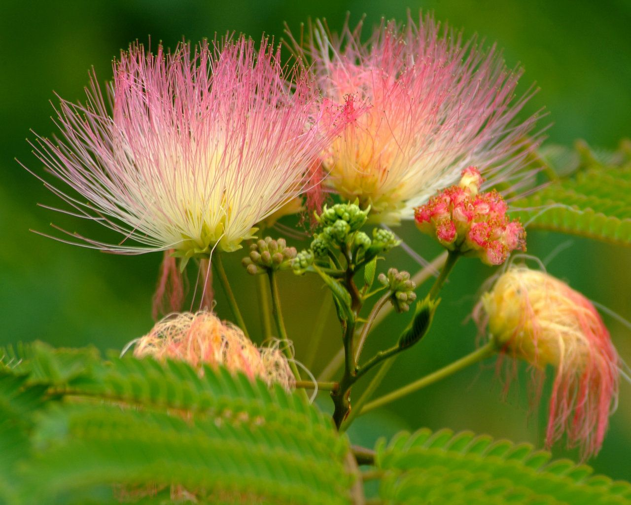 Albizia persian silk tree flower flowers gardens gardening albizia persian silk tree flower mightylinksfo