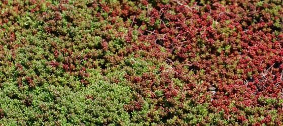 stonecrop sedum ground cover trending plants 2018