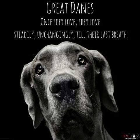 Pin By Mendy Wyatt On Best Dog Breed Everrrr Great Dane Dogs