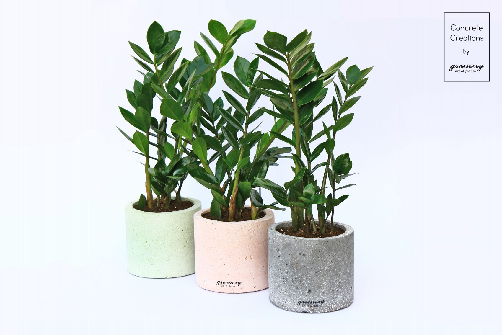 Concrete Cylindrical Pot With Crassula  Concrete Creations By Greenery