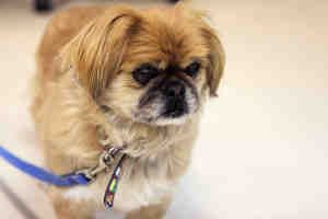 Sammy is an 8-year-old red Pekingese mix that arrived at the shelter on May 17 2013, and is currently available for adoption at the Saskatoon SPCA. He is a sweet and loving dog, who is looking to spend his remaining years in a loving household with someone to love him. His previous owner mentions he is good around both cats and dogs, but in his older age does not enjoy small children getting too close.