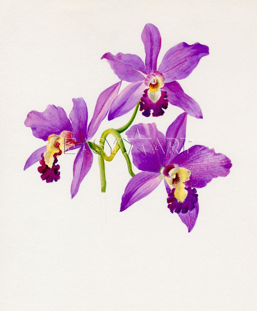 Cattleya By Lillian Snelling Art Print From King Mcgaw Copias Botanicas Tatto Orquidea Ilustracao Botanica