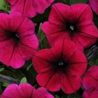 Shock Wave Purple Deep Shock Wave Petunias Shock Wave