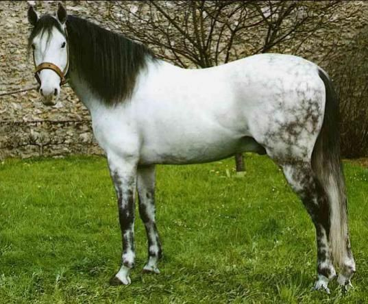Gray With Black Mane And Tail Rare Color Dapple Grey Horses Grey Horse Most Beautiful Horses