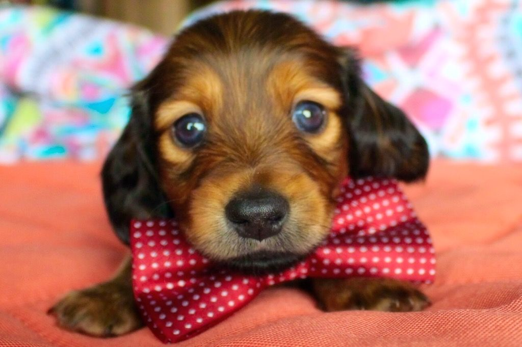 Shaded Red Longhair Miniature Dachshund Puppy Dachshund Puppies