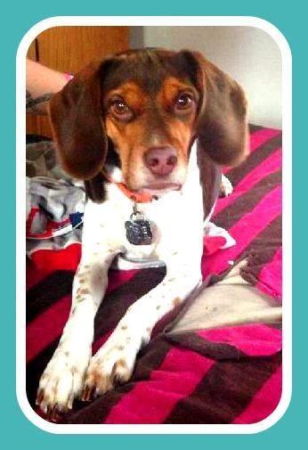 Meet Poppy A Petfinder Adoptable Beagle Dog Maple Grove Mn