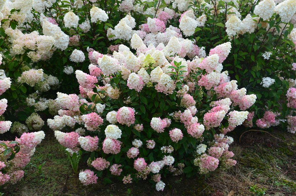 Hydrangea \'Sundae Fraise\' • Feature plant for small spaces • Patios ...