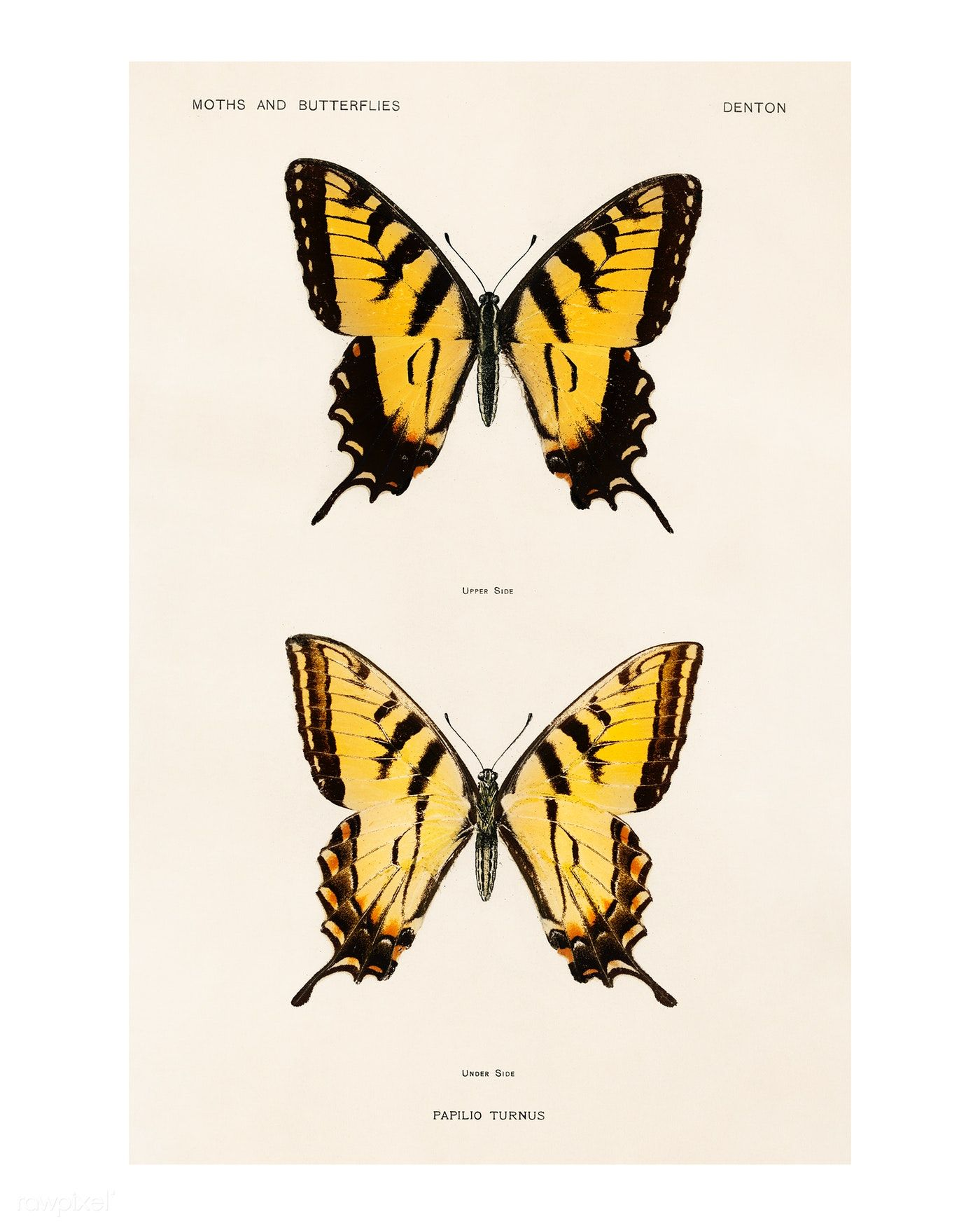 Download Premium Illustration Of Swallowtail Butterflies Vintage In 2020 Yellow Butterfly Tattoo Butterfly Painting Butterfly Art