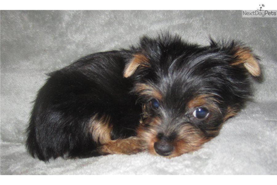 Boy Yorkie Puppy Yorkshire Terrier Yorkie Puppy For Sale Near St Louis Missouri D7bc464f B361 Yorkie Puppy For Sale Yorkie Puppy Puppies For Sale