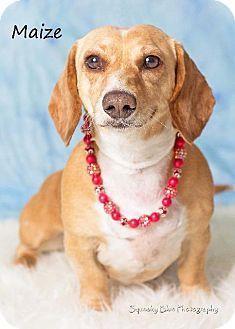 Basset Hound Dachshund Mix Puppies For Sale Zoe Fans Blog