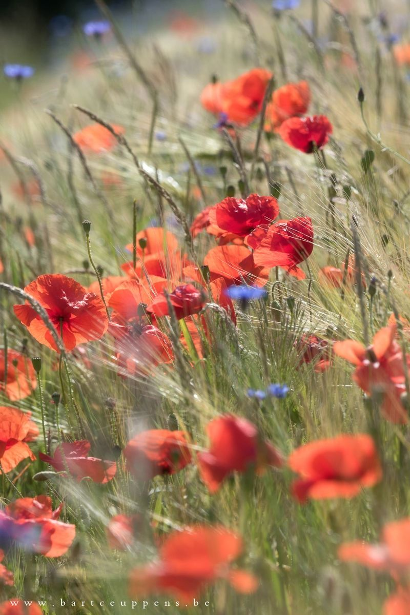 Papaver Raspberry Breadseed Pflanzen Mohnblume Blumen