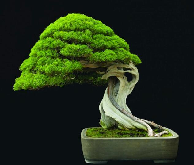 Details about 100PCS Rare Tree bonsais Bonsai Plant JAPANESE Cedar #bonsaiplants