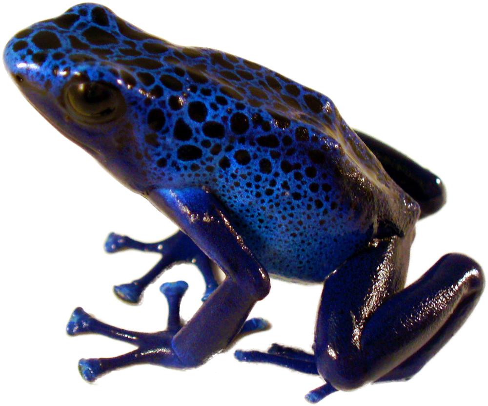 Dendrobates Tinctorius Azureus Captive Bred Blue Poison Dart Frog Josh S Frogs In 2020 Blue Poison Dart Frog Poison Dart Frogs Poison Dart