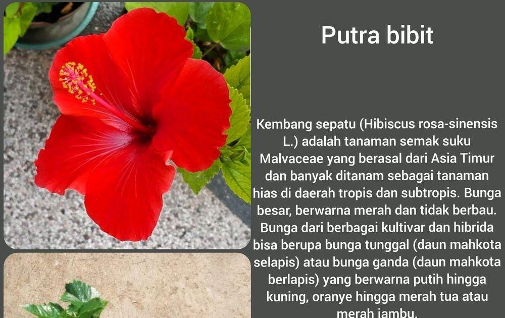 20 Gambar Bunga Raya Merah Kartun Gambar Bunga Raya Merah Gambar Bunga Download Sketsa Bunga Lukisan Bunga Raya Gambar Bunga Tanaman Semak Kembang Sepatu