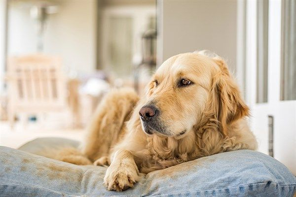 6 Most Common Canine Cancers Aaha Golden Retriever Dog