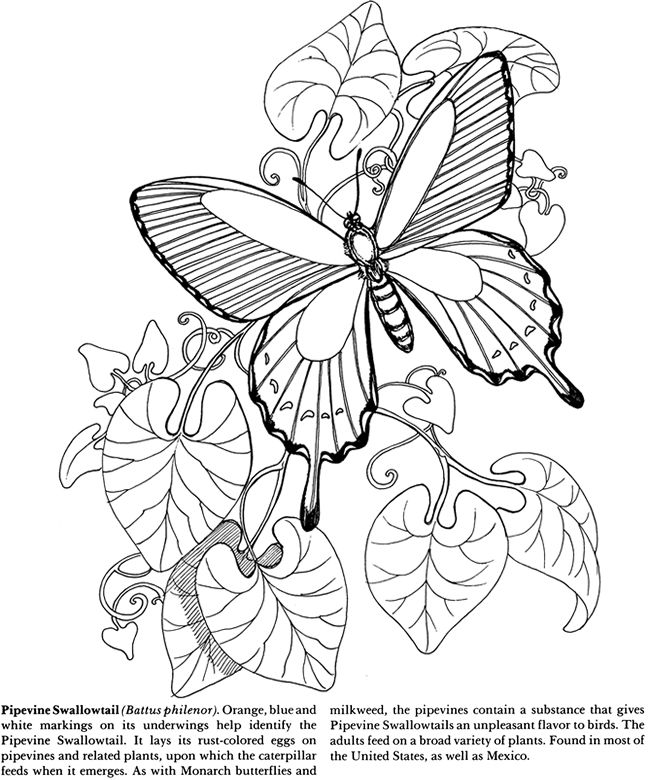 Pipevine Swallowtail Butterfly Coloring Pages Colouring Adult