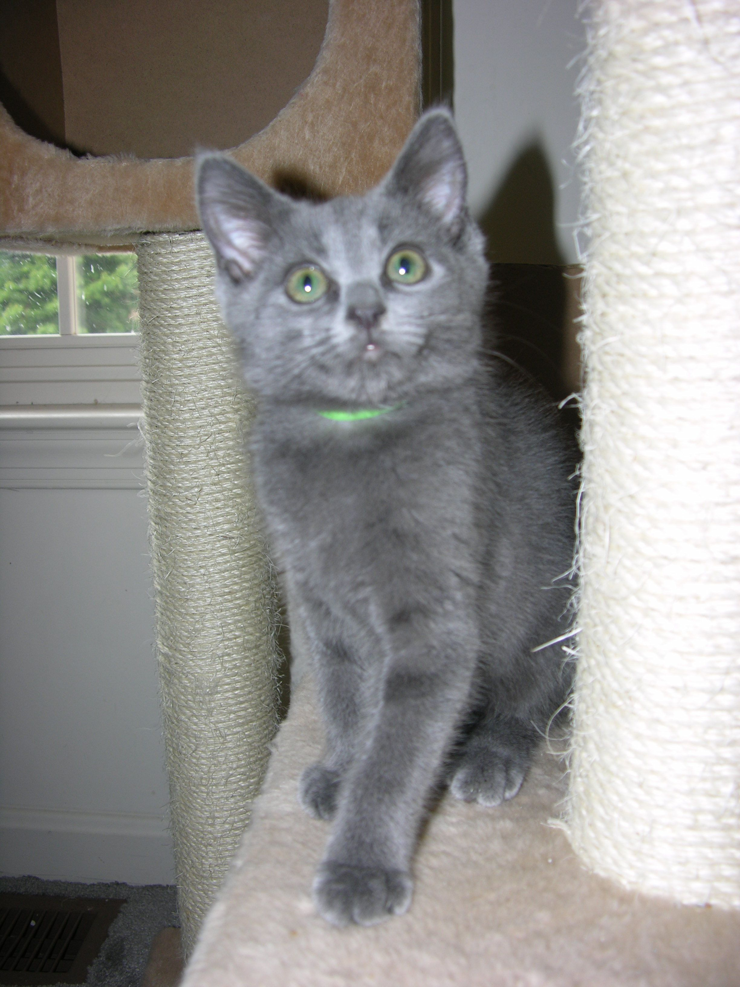 Gray Kittens Short Hair Munchkin Cat Grey Kitten Cats