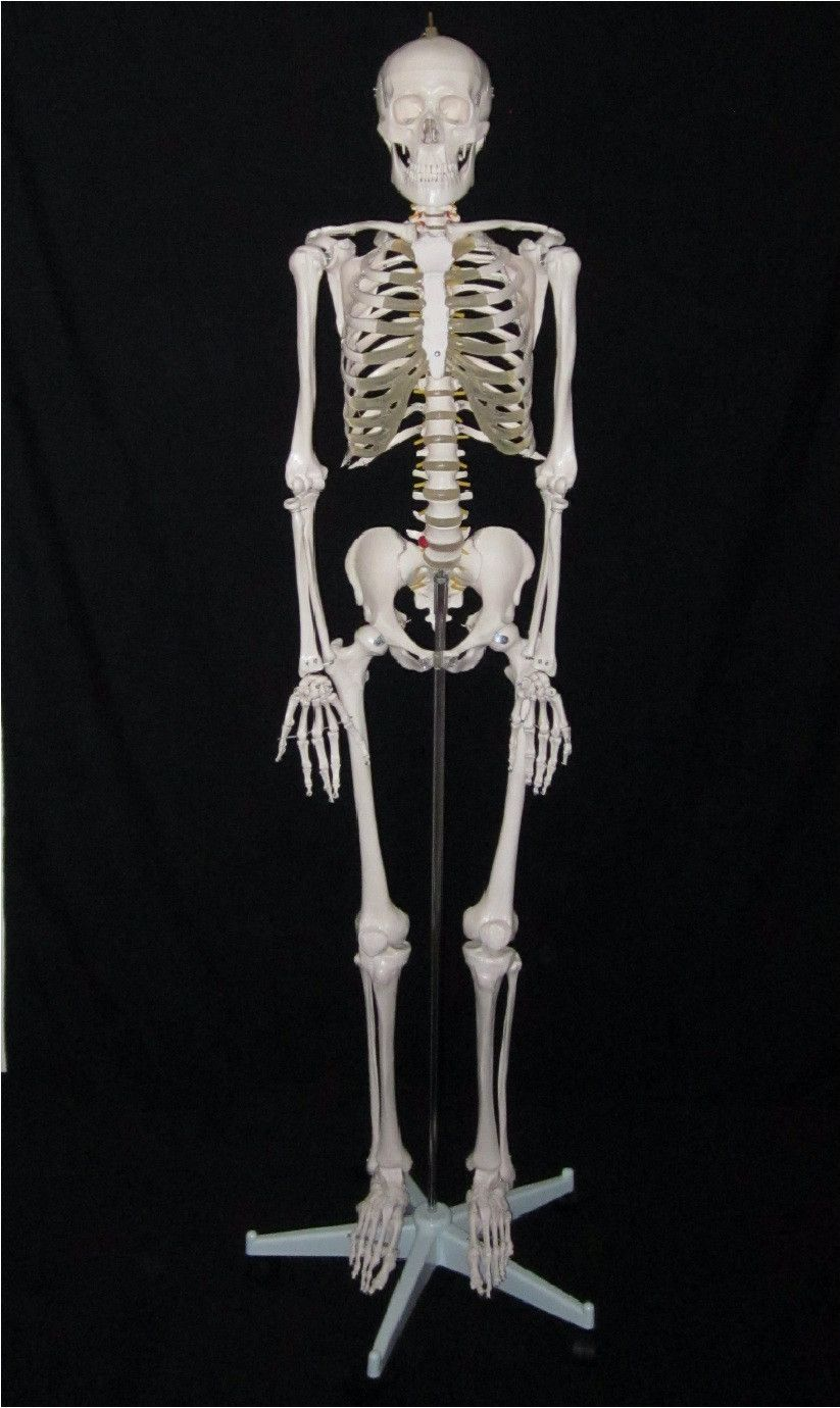 New life size human anatomical skeleton medical anatomy model with ...