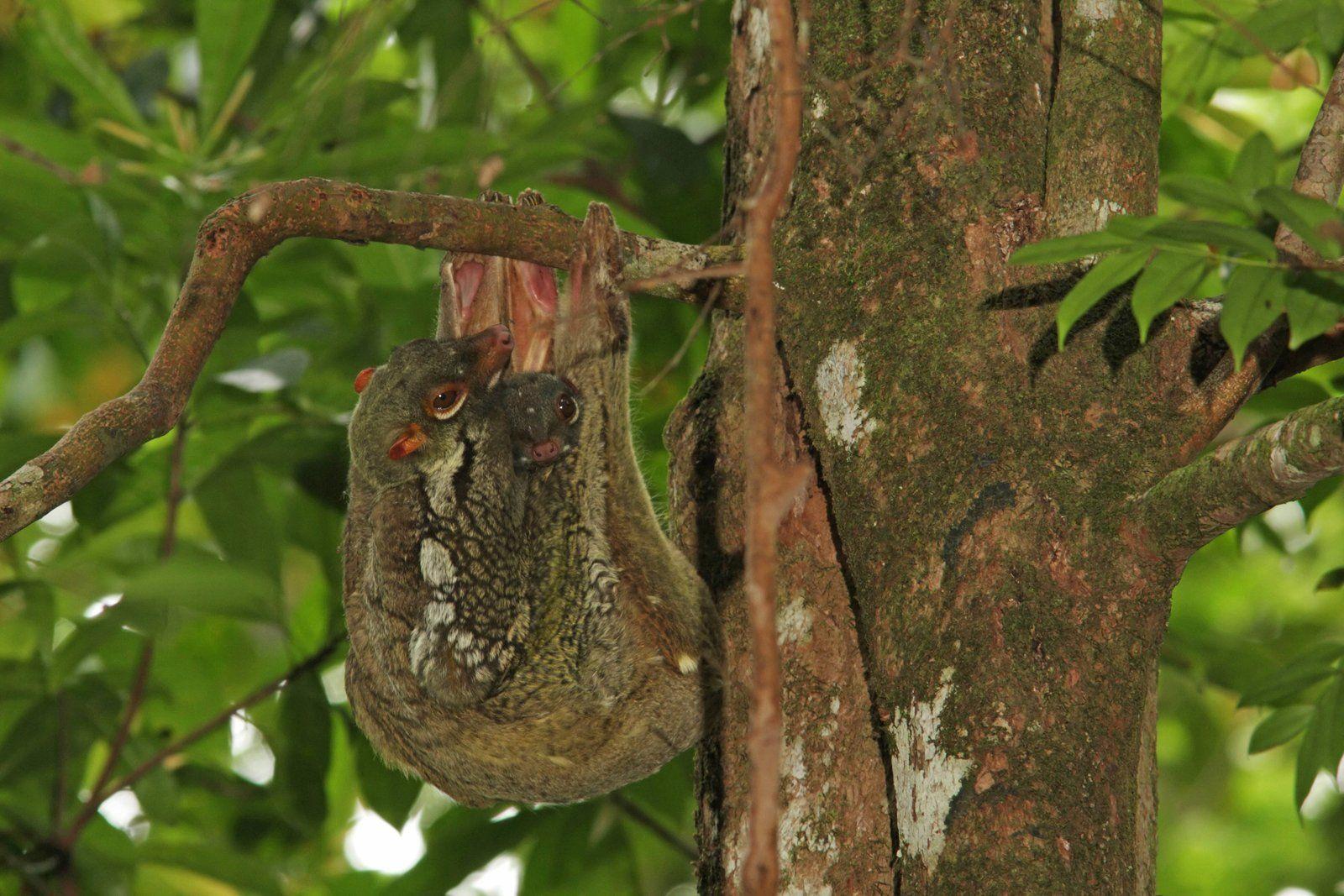 Malaien - Gleitflieger