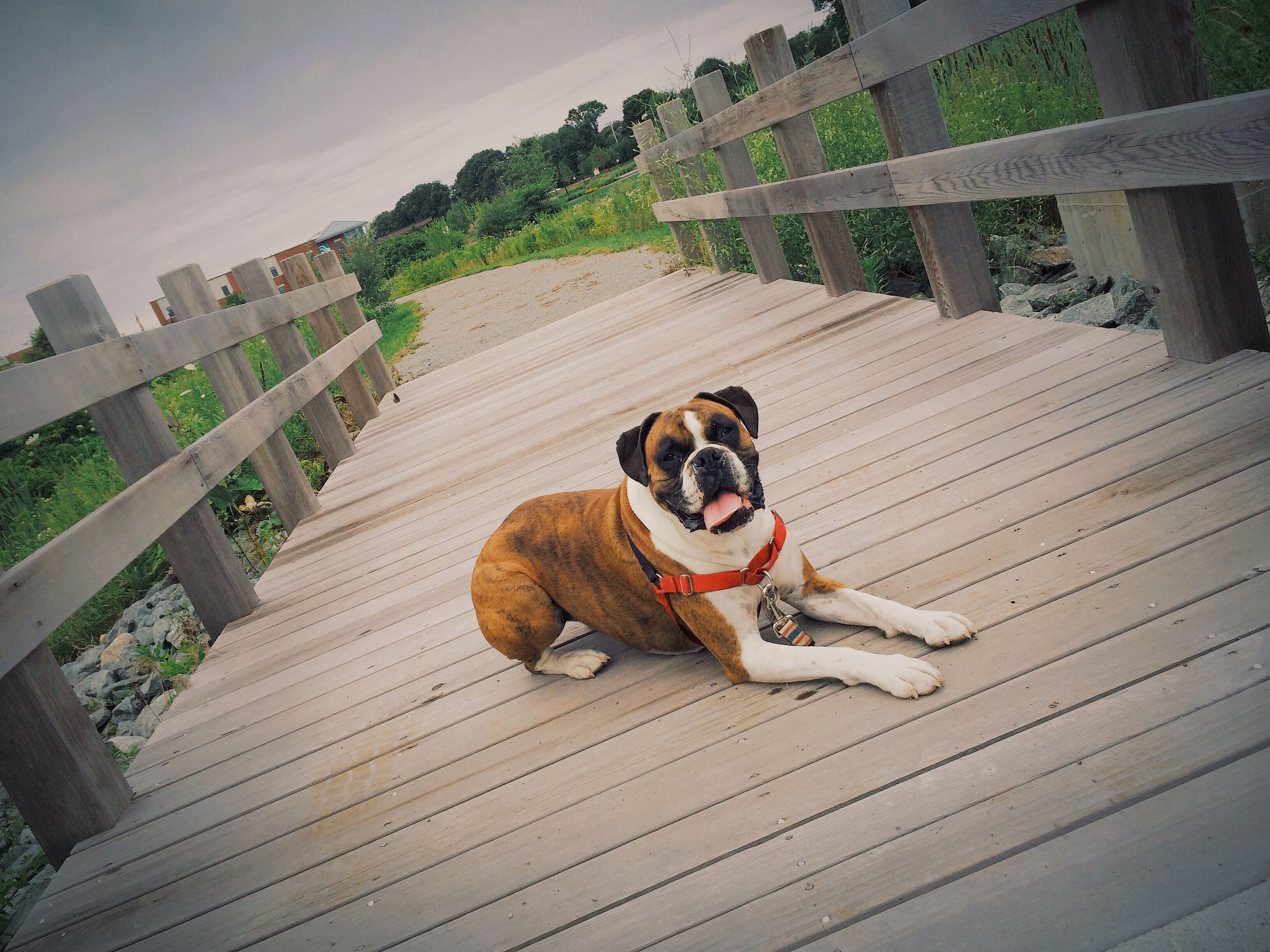 Boxer dog Boxer dogs, Boxer dog pictures, Boxer bulldog