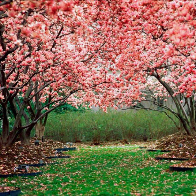 004 Cherry Blossoms